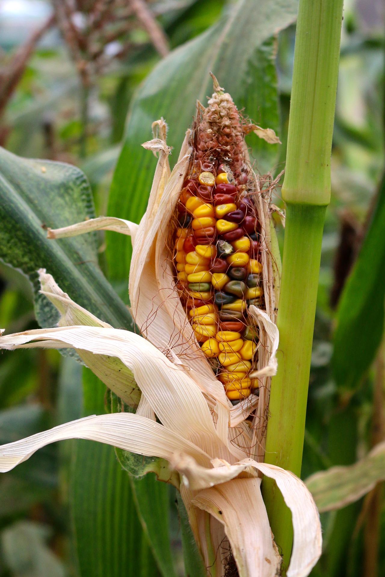 corn-2191721_1920