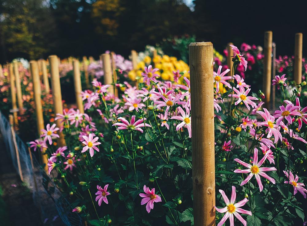 小紅菊種植基地